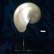 Base in acciaio con conchiglia Nautilus madreperlato