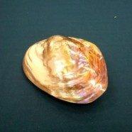 Conchiglia Mussel grigia