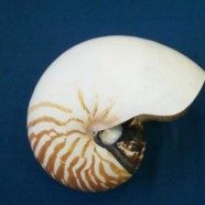 Conchiglia Nautilus grezzo