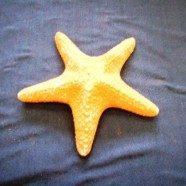 Stella corallo